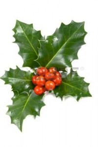 11646245-real-holly-berries-and-leave